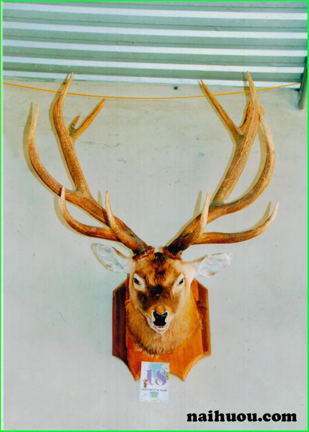 Đầu hươu có sừng treo tường hàng tự nhiên 100%