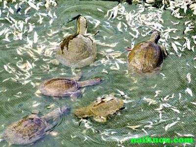 Hồ nuôi baba theo kiểu đắp đất xây hồ