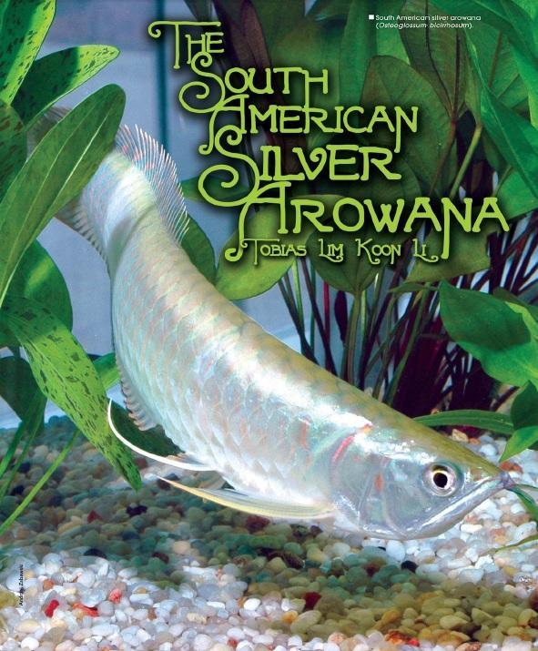Ngân long - Cá rồng Nam Mỹ