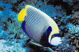 Top 12 loài cá cảnh đẹp nhất thế giới