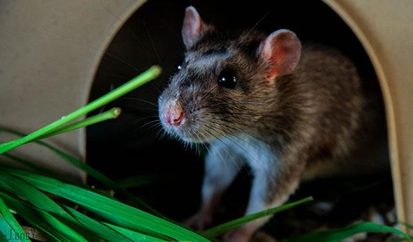 Mùi hôi của loài chuột