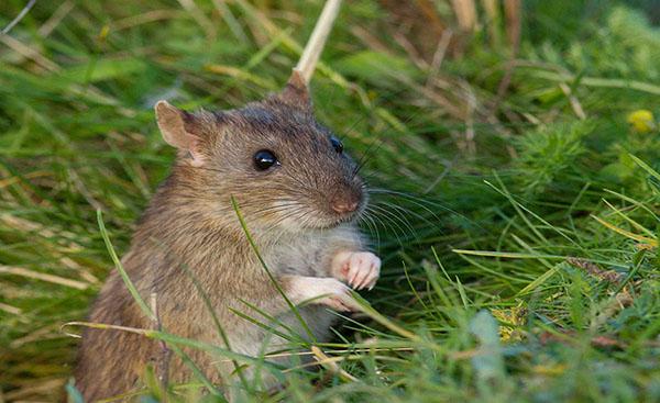 Làm thế nào để thoát khỏi mùi do chuột gây ra?