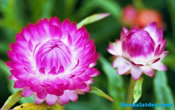 Hoa Đà Lạt Đẹp