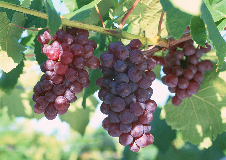 Rượu nho dưỡng da cho bà bầu tốt nhất TPHCM 07