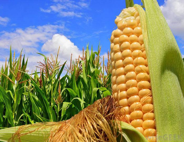 Công nghệ ozone được ứng dụng trong các giai đoạn sản xuất ngô